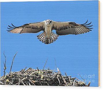 Wood Print featuring the photograph Flegeling Osprey by Debbie Stahre