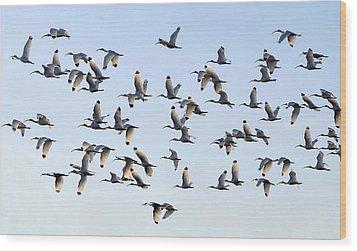 Flight Of The White Ibis Wood Print by David Lee Thompson