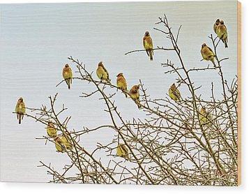 Flock Of Cedar Waxwings  Wood Print