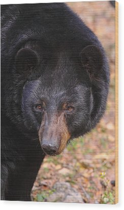 Florida Black Bear Wood Print