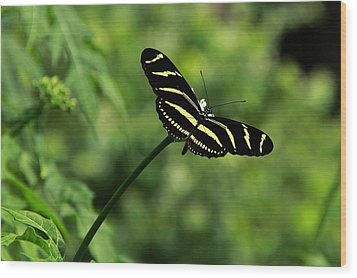 Florida State Butterfly Wood Print by Greg Allore
