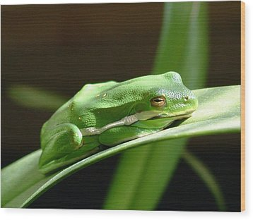 Florida Tree Frog Wood Print by Ned Stacey