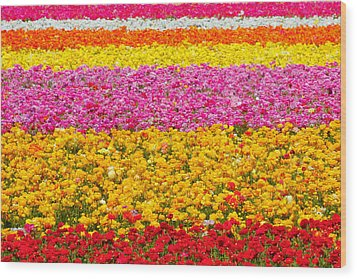 Flower Fields Carlsbad Ca Giant Ranunculus Wood Print by Christine Till