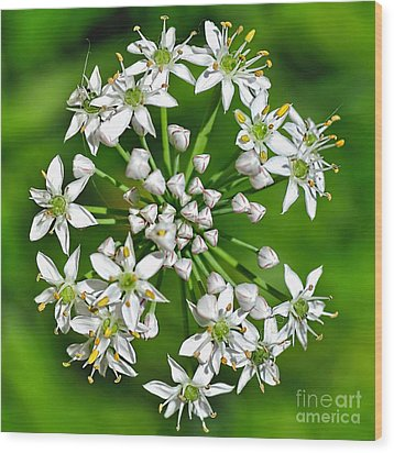 Flowering Garlic Chives Wood Print by Kaye Menner