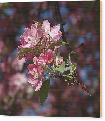 Flowering Pink Dogwood Wood Print by Frank Mari