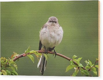 Fluffy Mockingbird Wood Print by Terry DeLuco