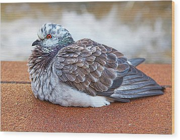 Fluffy Pigeon Wood Print