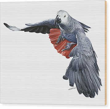 Flying African Grey Parrot Wood Print by Owen Bell