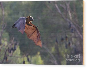 Flying Fox In Mid Air Wood Print