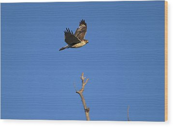 Flying Hawk I  Wood Print by Christopher Wood