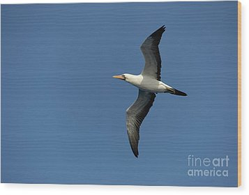 Flying Masked Booby In Flight Wood Print by Sami Sarkis