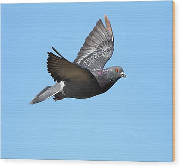 Flying Pigeon . 7d8640 Wood Print by Wingsdomain Art and Photography