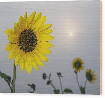 Foggy Sunflowers Wood Print by Rob Graham