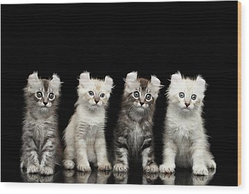 Four American Curl Kittens With Twisted Ears Isolated Black Background Wood Print by Sergey Taran