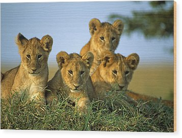 Four Lion Cubs Wood Print by Johan Elzenga