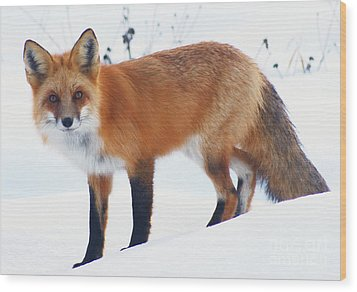 Fox On The Prowl Wood Print by Stanza Widen