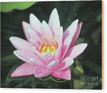 Frail Beauty - A Water Lily Wood Print