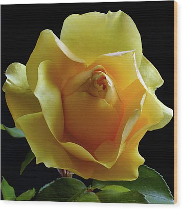 Freedom Rose Wood Print by Terence Davis