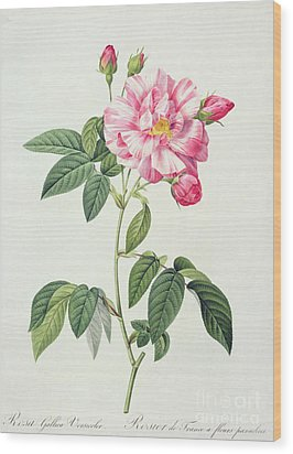 French Rose Wood Print by Pierre Joseph Redoute