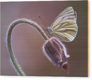 Fresh Pasque Flower And White Butterfly Wood Print by Jaroslaw Blaminsky