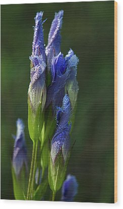 Wood Print featuring the photograph Fringed Getian With Dew by Ann Bridges
