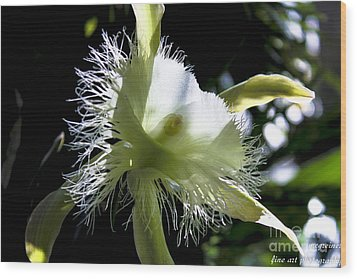 Fringed Orchid Wood Print by Marilyn Carlyle Greiner