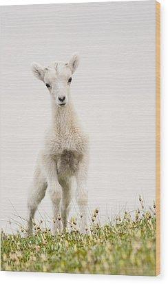 Frisky Lamb Wood Print by Tim Grams