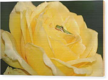 Frog In Yellow Rose Wood Print by Kathy Gibbons