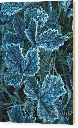 Frosty Ivy Wood Print by Garnett  Jaeger