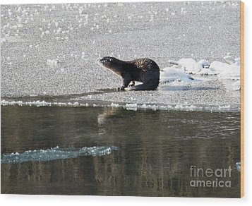 Frosty River Otter  Wood Print by Mike Dawson