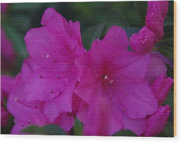 Wood Print featuring the photograph Fuchsia Azaleas by Robyn Stacey