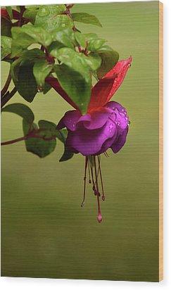 Fuchsia Fuchsia Wood Print by Ann Bridges