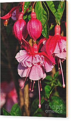 Fuchsias With Droplets Wood Print