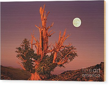 Full Moon Behind Ancient Bristlecone Pine White Mountains California Wood Print