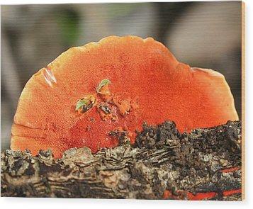Fungi Pycnoporus Coccineus Wood Print