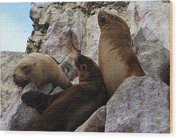 Fur Seals On The Ballestas Islands, Peru Wood Print by Aidan Moran