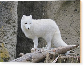 Furry Arctic Fox  Wood Print