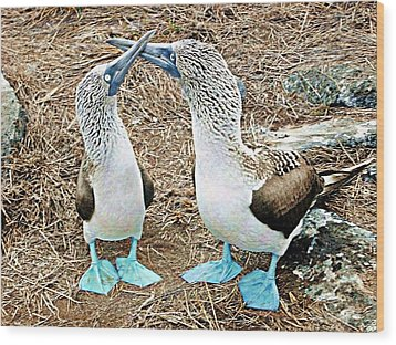 Galapagos Blue-footed Boobies Dance Wood Print