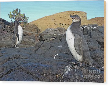 Galapagos Penguins Wood Print by Sami Sarkis