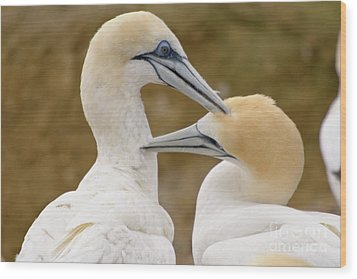 Wood Print featuring the photograph Gannet Pair 1 by Werner Padarin