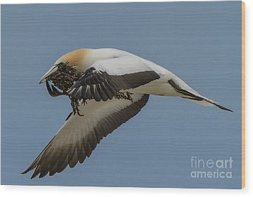 Wood Print featuring the photograph Gannets 1 by Werner Padarin