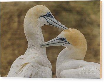 Gannets 4 Wood Print by Werner Padarin