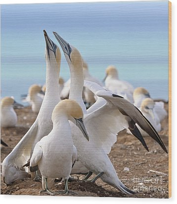 Wood Print featuring the photograph Gannets by Werner Padarin