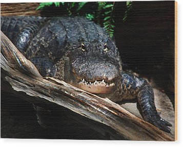 Wood Print featuring the photograph Gator Resting by Kathleen Stephens