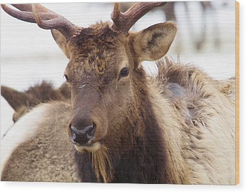 Wood Print featuring the photograph Gaze From A Bull Elk by Jeff Swan