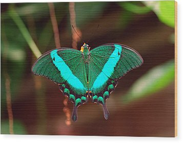 Geen Blue Butterfly Wood Print by Don  Wright
