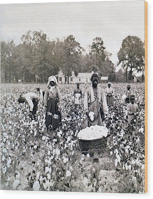 Georgia Cotton Field - C 1898 Wood Print by International  Images