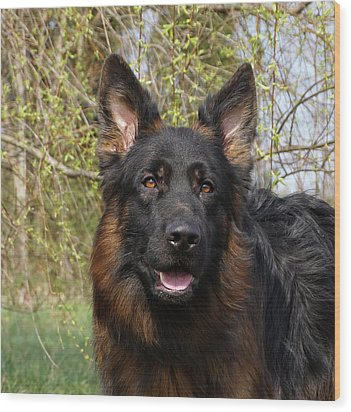 Wood Print featuring the photograph German Shepherd Close Up by Sandy Keeton