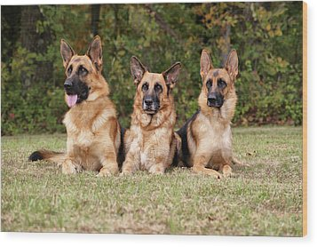 German Shepherds - Family Portrait Wood Print by Sandy Keeton