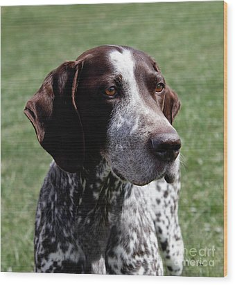 German Shorthaired Pointer  Wood Print by Steven Digman